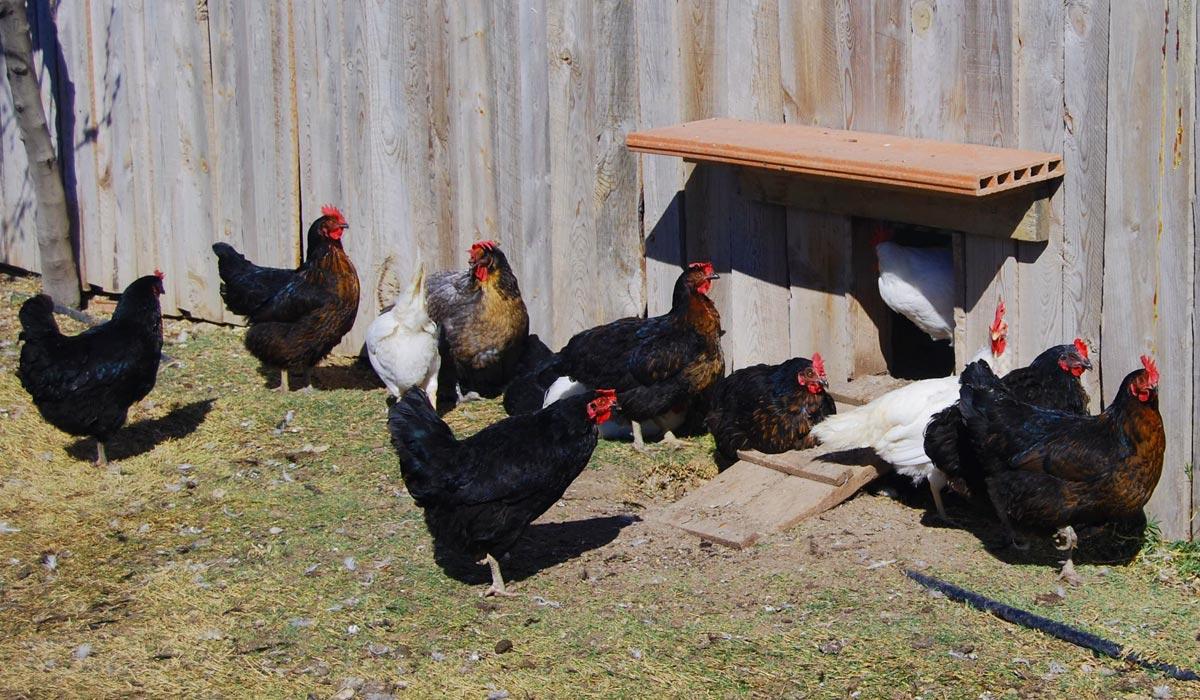 Proyecto gallina huertos ecologicos alcorcon