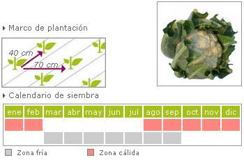 Coliflor como cultivar