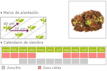 Lechuga lollo rojo como cultivar
